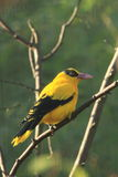 Black-naped oriole. The black-naped oriole sitting on the branch Stock Photo