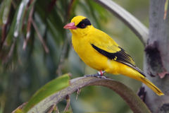 Black-Naped Oriole. Colorful Black-Naped Oriole perched in tree Stock Photos