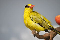 black-naped oriole Stock Images