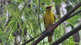 Black-naped Oriole bird in tropical rain forest. Black-naped Oriole bird Oriolus chinensis on branch in tropical rain forest stock video