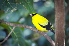 Black-naped Oriole of Eastern Asia stock photos
