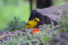 Black-naped oriole Royalty Free Stock Photos