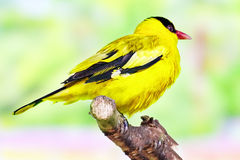 Black-naped Oriole. In its natural habitat Royalty Free Stock Photography