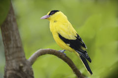 Black-Naped Oriole Royalty Free Stock Photo