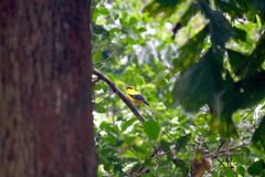 Black-naped Oriole Royalty Free Stock Photography