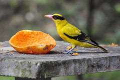 Black-naped Oriole (Oriolus chinensis). Black-naped Oriole (Oriolus chinensis) in Malaysia Royalty Free Stock Photography