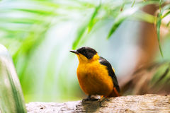 Black-naped oriole. (Oriolus chinensis) on tree Stock Photo