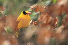 Black-naped oriole Stock Photography
