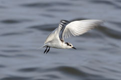 Black-naped tern Royalty Free Stock Image