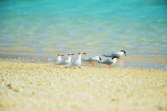 Black-naped Tern and Roseate Tern-Sterna spp. Royalty Free Stock Photography