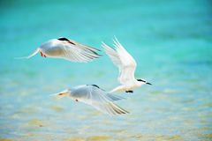 Black-naped Tern and Roseate Tern-Sterna spp. Royalty Free Stock Photos