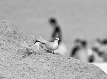 Black naped tern Stock Image