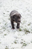 Black Neapolitan Mastiff puppy Stock Photos