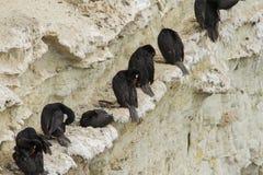 Black neck cormorant Royalty Free Stock Images