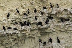 Black neck cormorant Stock Image