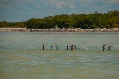 Black neck by the river, nature reserve of Rio Lagartos, Mexico. Yucatan. Black neck ducks in water in the nature reserve of Rio Lagartos, Mexico. Yucatan Stock Image