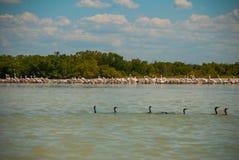 Black neck by the river, nature reserve of Rio Lagartos, Mexico. Yucatan. Black neck ducks in water in the nature reserve of Rio Lagartos, Mexico. Yucatan Royalty Free Stock Photos