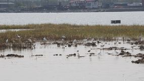 Black Neck Stilt and Egrets nesting site in Bai Tong fishing village North China royalty free stock photo