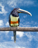 Black-necked Aracari Royalty Free Stock Photo