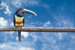 Black-necked Aracari Royalty Free Stock Photography
