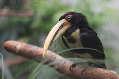 Black-necked aracari Stock Photos