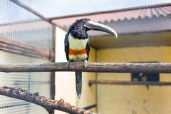 Black-necked Aracari Stock Photography
