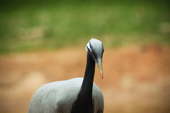 Black-necked Crane. A close up black necked crane Stock Image