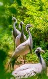 black-necked crane Stock Photography