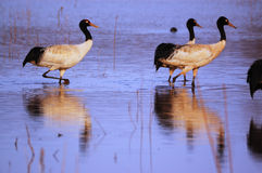 Black-necked cranes royalty free stock image