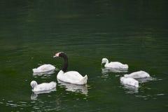 Black necked female swan cygnus melanocoryphus with her young cy Stock Image