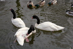 Black necked goose and duck floating Royalty Free Stock Image