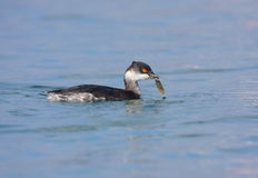 Black-necked Grebe. With fish in its beck Stock Photography