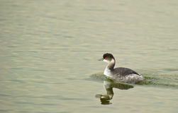 The Black-necked Grebe Stock Image