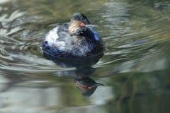 Black-necked grebe Stock Photography