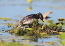Black necked grebe constantly improving its nest. For a new generation stock photos