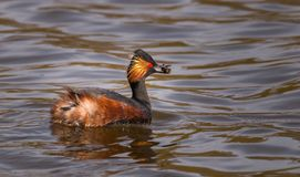 Black necked grebe ready for dinner royalty free stock images