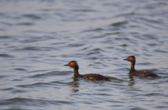 Pair of Black-necked Grebe. Black-necked grebe pair in breeding form is swimming on a pond Stock Photos