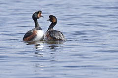 Black-necked Grebe Stock Photos