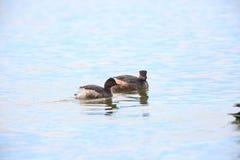 Black-necked Grebe in Japan Royalty Free Stock Image