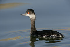 Black-necked grebe, Podiceps nigricollis Royalty Free Stock Photos