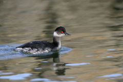 Black-necked grebe, Podiceps nigricollis Stock Photography