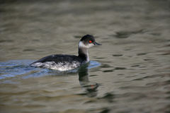 Black-necked grebe, Podiceps nigricollis Stock Photos