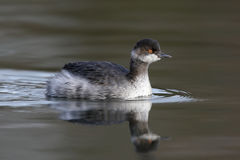 Black-necked grebe, Podiceps nigricollis, Royalty Free Stock Photography