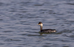 Black-necked Grebe Stock Image