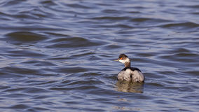 Black-necked Grebe Royalty Free Stock Image
