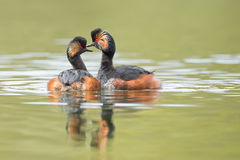 Black-necked Grebes (Podiceps nigricollis) Royalty Free Stock Photo
