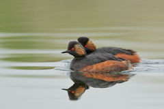 Black-necked Grebes (Podiceps nigricollis) Royalty Free Stock Image