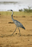 Black necked heron Stock Photo