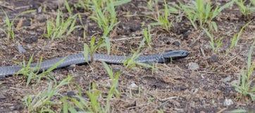 Black-necked Spitting Cobra Naja nigricollis in the Wild. In Northern Tanzania Stock Photo