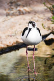 Black necked stilt Stock Photography